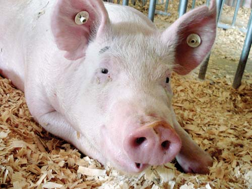 Fair pigs test positive for swine flu