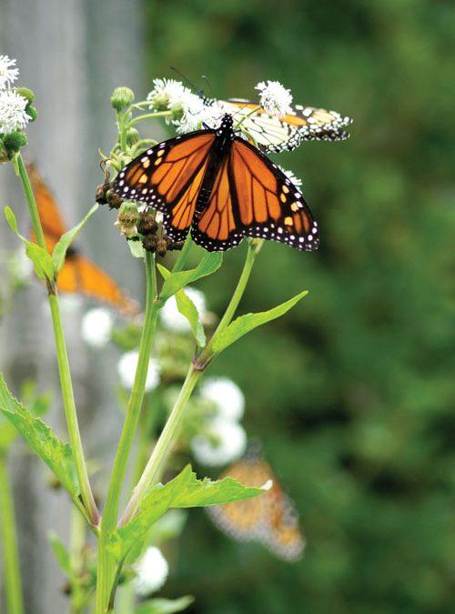 Monarch magnet